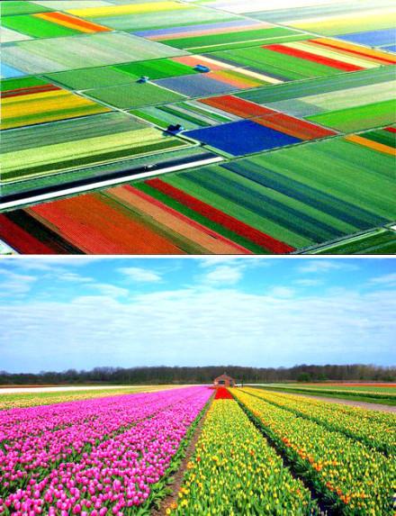 世界上最美丽的春天——荷兰的春天悄然绽放,郁金香开,开出了大地最艳的衣裳